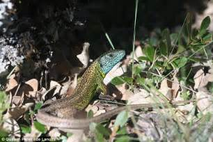 Lizard uses its bright blue head to hide from hungry birds