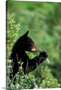 The American black bear cub, sniffing wildflowers Wall Art