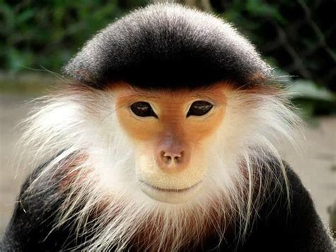 Vietnamese monkey with a nickname name: All Dressed up! #