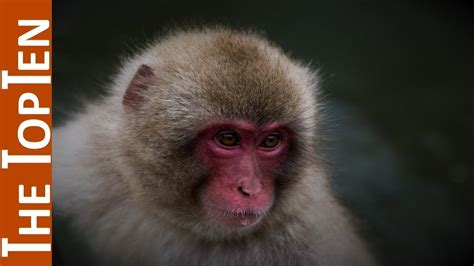 The Top Ten Most Beautiful Monkeys in the World - YouTube